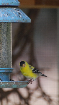 Male American Goldfinch picturegallery171325.tmp/1000.jpg