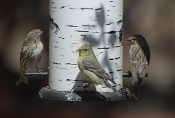Pine Siskin goldfinches Idyllwild nature center picturegallery171325.tmp/101.jpg