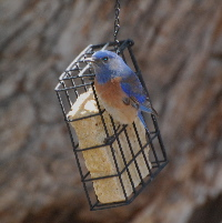 Western bluebird idyllwild nature center picturegallery171325.tmp/105.jpg