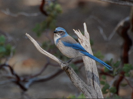 Western Scrub Jay Idyllwild nature center picturegallery171325.tmp/101.jpg