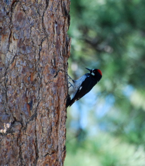 Acorn Woodpecker idyllwild nature center picturegallery171325.tmp/113.jpg