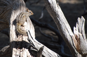 Chipmunk relaxing idyllwild nature center picturegallery171325.tmp/113.jpg