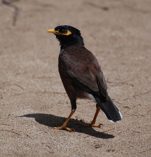 Common Myna birds of hawaii kauai picturegallery171325.tmp/210.jpg