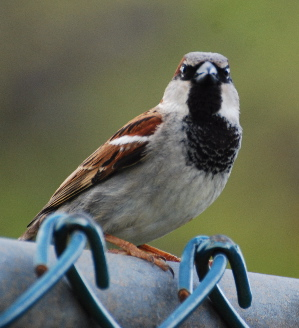 House Sparrow birds of hawaii kauai picturegallery171325.tmp/210.jpg