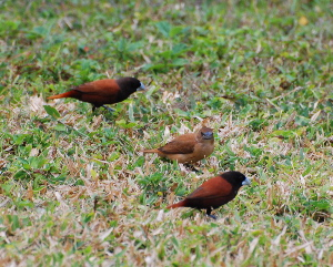 Chestnut Munia birds of hawaii kauai picturegallery171325.tmp/210.jpg