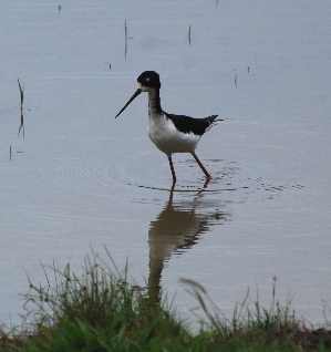 Black-Necked Stilt or AE'O birds of hawaii kauai picturegallery171325.tmp/219.jpg