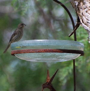 House Finch picturegallery171325.tmp/234.jpg