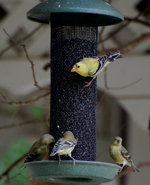 American Gold finches thistle feeder picturegallery171325.tmp/333.jpg