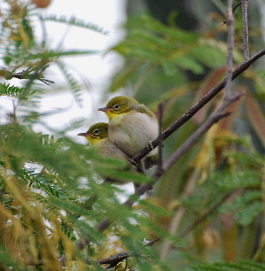 Japanese White-Eye birds of Hawaii Kauai picturegallery171325.tmp/402.jpg