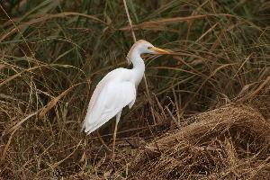 Cattle Egret in breeding plumage birds of Hawaii Kauai picturegallery171325.tmp/402.jpg