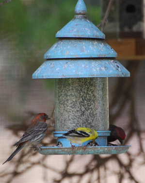 American Gold finch House Finch picturegallery171325.tmp/444.jpg