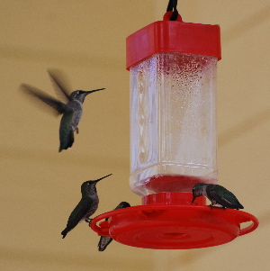 Annas Hummingbirds hummingbird feeder picturegallery171325.tmp/777.jpg