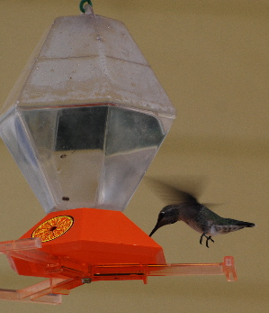 Male Broadtailed Hummingbird feeder picturegallery171325.tmp/888.jpg