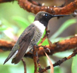 Male Black-chinned Hummingbird171325.tmp/BBBMaleblackchinned.JPG