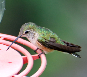 Female Rufous Hummer171325.tmp/BBfemalemagnificent4.JPG