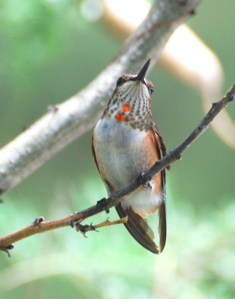 Immature Female Rufous Hummingbird171325.tmp/BBfemalemagnificent4.JPG