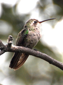 Immature White-eared hummingbird171325.tmp/BBfemalemagnificent4.JPG