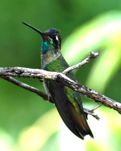 Male Magnificent Hummingbird171325.tmp/BBfemalemagnificent4.JPG