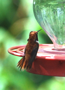 Male Rufous Hummingbird171325.tmp/BBfemalemagnificent4.JPG