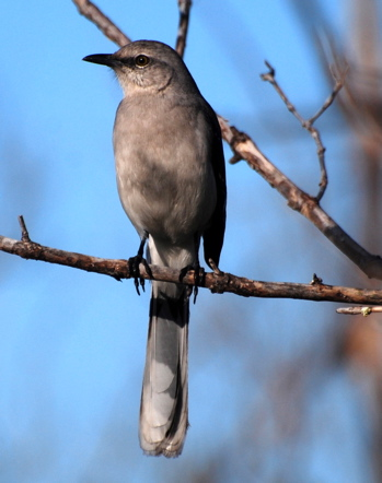 Bahama Mockingbird171325.tmp/BelizeBirds.jpg