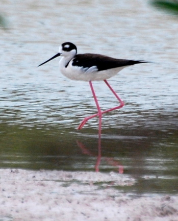 Black-necked Stilt171325.tmp/BelizeBirds.jpg