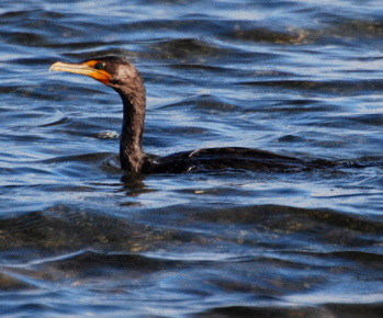 Doubled Creasted Cormorant171325.tmp/BelizeBirds.jpg