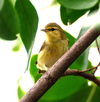 Female Hooded Warbler171325.tmp/BelizeBirds.jpg
