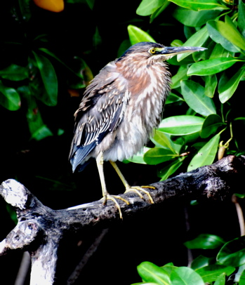 Juvenile Green Heron171325.tmp/BelizeBirds.jpg
