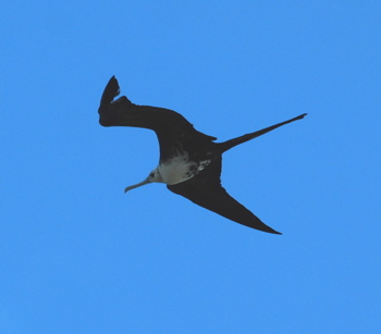 Magnificent Frigatebird171325.tmp/BelizeBirds.jpg