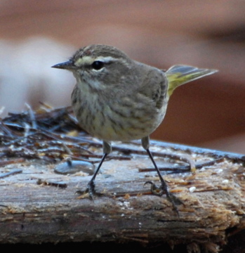 Palm Warbler 171325.tmp/BelizeBirds.jpg