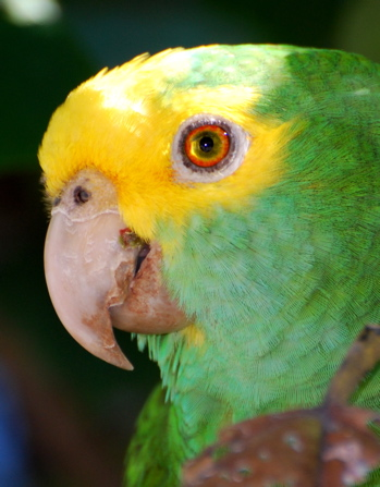 Yellow-headed Parrot171325.tmp/BZParrotheadside.jpg