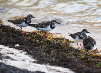 Ruddy Turnstone171325.tmp/BelizeBirds.jpg
