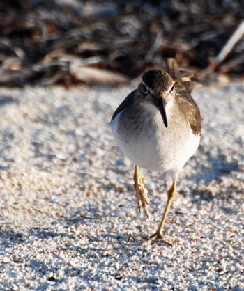Spotted Sandpiper 171325.tmp/BelizeBirds.jpg