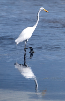 Great Egret 171325.tmp/BelizeBirds.jpg