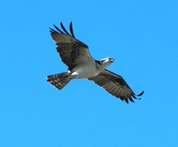 Osprey in flight171325.tmp/BelizeBirds.jpg