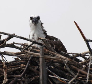 Osprey in nest171325.tmp/BelizeBirds.jpg