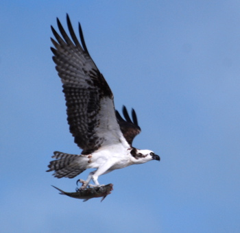 Osprey171325.tmp/BelizeBirds.jpg