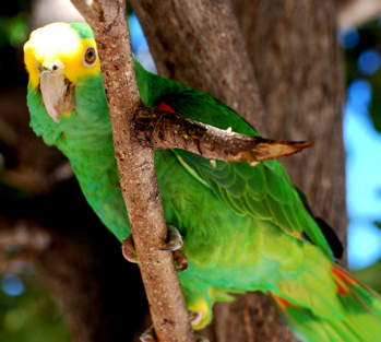 Yellow-headed Parrot 171325.tmp/BelizeBirds.jpg