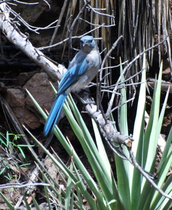 Mexican Jay picturegallery171325.tmp/chiricahua .jpg