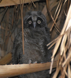 Long-eared Owl171325.tmp/CVPowl.jpg