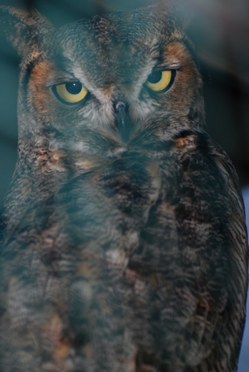 Great Horned Owl171325.tmp/CVPowl.jpg