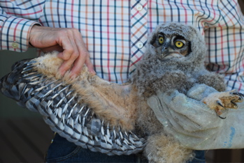 Great Horned Owl Nestling171325.tmp/CVWBowlwing.jpg