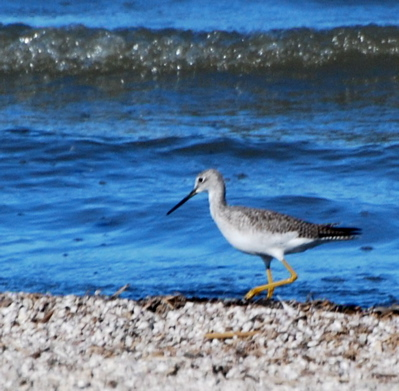 Fall Juvenile Greater Yellowlegs picturegallery171325.tmp/SBSSbunny.jpg