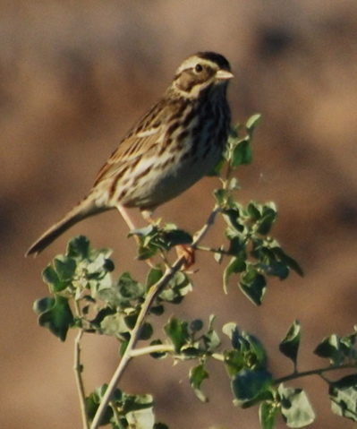 Pacific Northwest Song Sparrow picturegallery171325.tmp/SBSSbunny.jpg