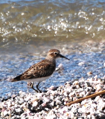 Fall Sandpiper picturegallery171325.tmp/SBSSbunny.jpg