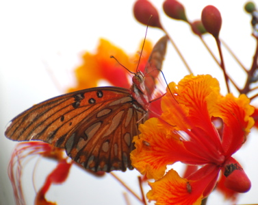 Orange Butterfly 171325.tmp/SDMwhitebutterfly.JPG