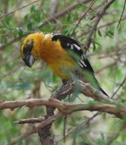 Male black-headed grosbeak 171325.tmp/SDMwhitewingeddove.JPG