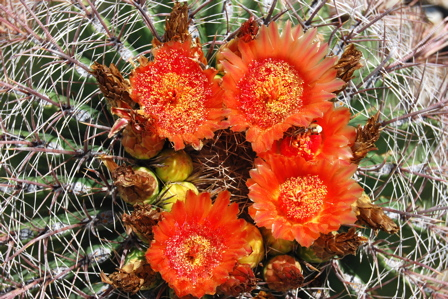 Orange cactus flower 171325.tmp/SDMyellowcatusflower.JPG