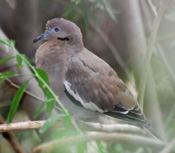 White winged dove 171325.tmp/SDMwhitewingeddove.JPG