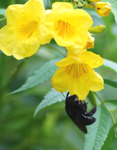 Yellow flowers with visting Bumble Bee 171325.tmp/SDMwhitebutterfly.JPG